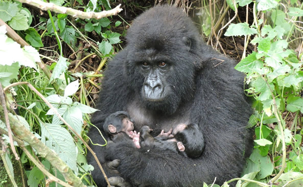 4 Days Double Gorilla